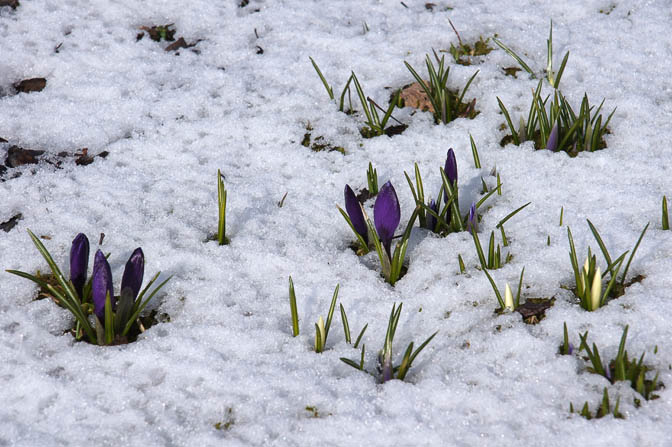 Crocus appearing through the snow, The Black Forest 2013