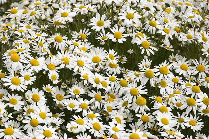 Rich bloom of Oxeye daisy (Leucanthemum vulgare), 2017