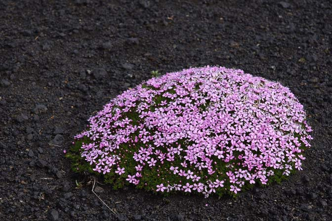 A cushion of Moss Campion (Silene acaulis) dense with pink flowers, 2012