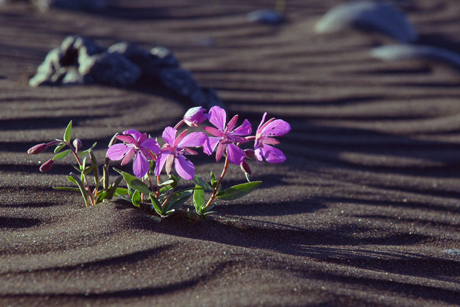 Arctic River Beauty (Chamerion latifolium, formerly Epilobium latifolium) blooming in the black sand of Skjalfandafljot riverbank, 2012