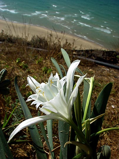 A Sand Lily (Pancratium maritimum) in Netanya, The Israel National Trail 2003