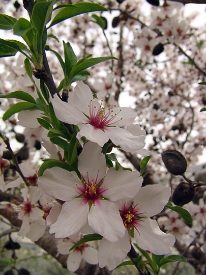 The blossom of the almond tree (Amygdalus communis) on the terraces around Ein Kerem, 2008