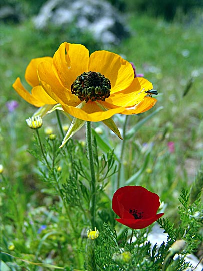 A yellow Ranunculus asiaticus and a red Papaver umbonatum near Nazareth, the Lower Galilee 2006