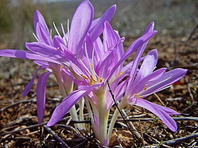 Colchicum stevenii blossoms in Grar Creek, the Western Negev, 2003