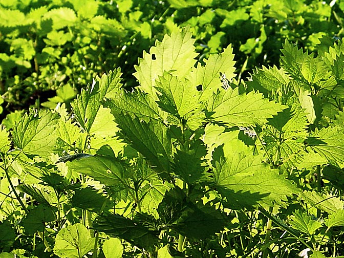 Nettle (Urtica) leaves in the Tabor Mountain, Israel 2002