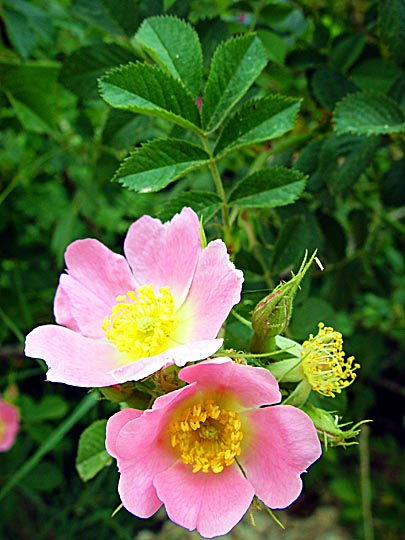 Rosa phoenicia flowers in Mount Hermon, the Golan Heights 2003