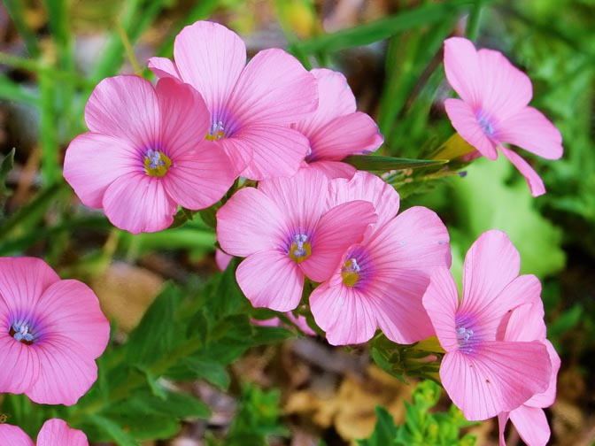 The Linum pubescens pink blossoms in the Tabor Creek, the Lower Galilee 2002