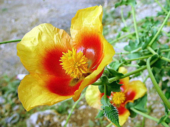 A Lotus sweetjuice (Glaucium leiocarpum) blooms in yellow and red in Mount Hermon, the Golan Heights 2003
