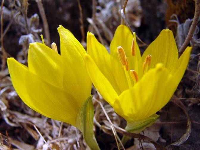 A Sternbergia clusiana in Mount Chazak, the Bashanit Ridge, the Golan Heights 2006