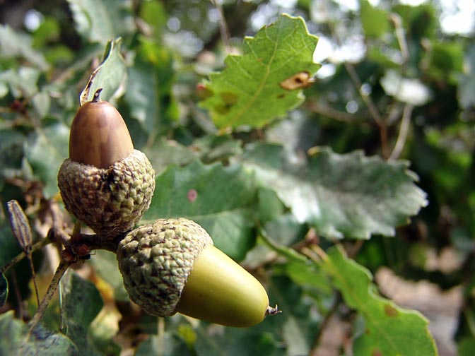 Cyprus oak (Quercus boissieri) acorns in Mount Chazak, Bashanit Ridge, the Golan Heights 2006