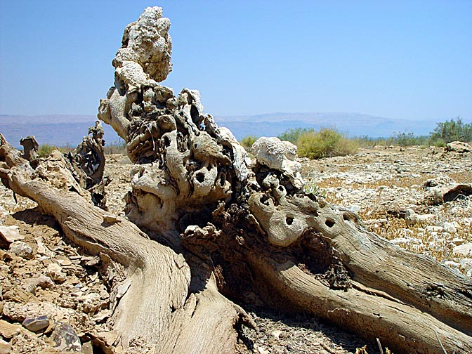 600 year old tree trunks, exposed in the north of the Dead Sea, due to withdrawal of the water line, 2003