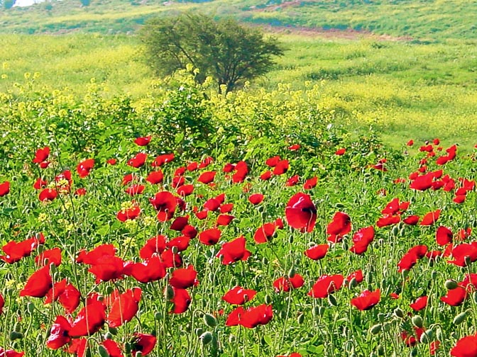 A field of Papaver umbonatum and Sinapis arvensis in Tabor Creek, The Israel National Trail, The Lower Galilee 2002