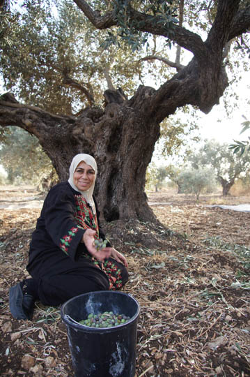 Assama collects olives during the harvest, Makr 2011