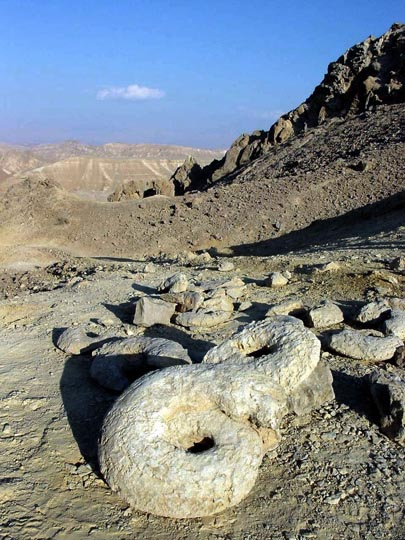 Planispiral (flat spiral) fossil shells of Ammonite alongside the East Ramon, The Israel National Trail,  2002