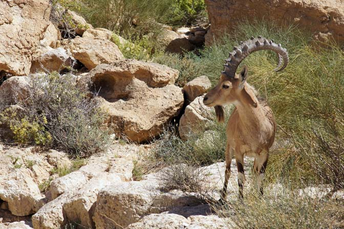 An Ibex (Capra) in Tzaror creek, 2014