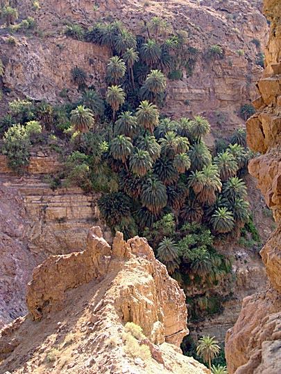 Palm trees hanging from the cliffs of Wadi Manshala, 2007