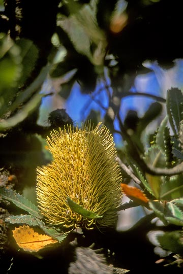 An Old Man Banksia blossom (Banksia serrata) at Wentworth Falls, the Blue Mountains, west of Sydney, New South Wales 1999