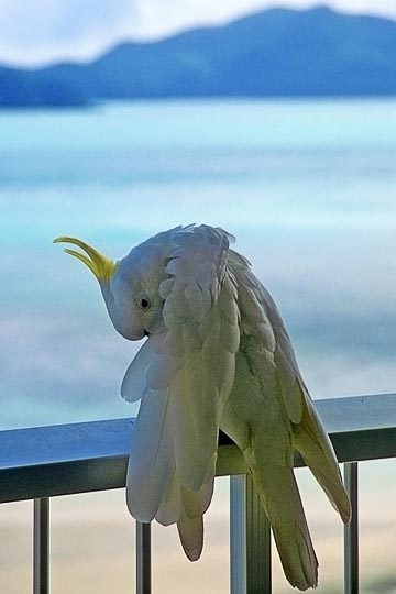 A Sulphur-crested Cockatoo (Cacatua galerita) in Hamilton Island, the Great Barrier Reef 1999