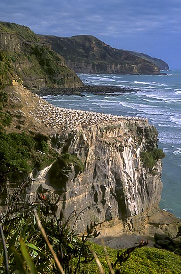 Australian gannets (Morus serrator) nesting on the cliff at Muriwai beach, the Waitakere Ranges, West Auckland 1998