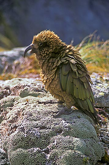 The parrot Kea (Nestor notabilis) in McKinnon Pass, the Milford Track, the South Island 1999