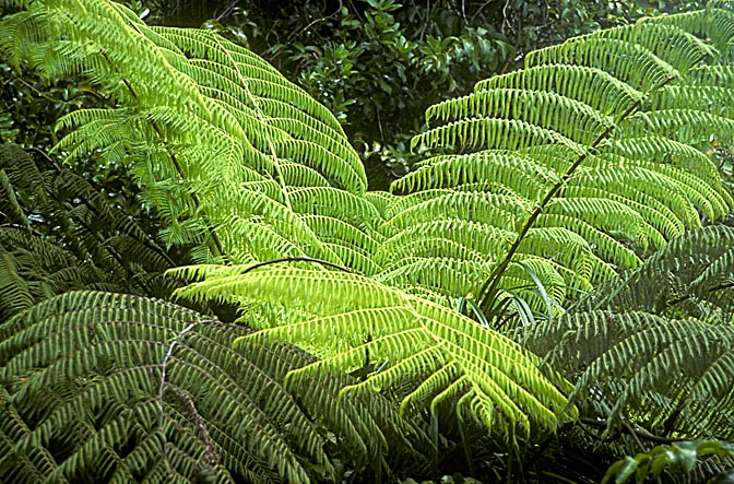 A fern (Pteridophyta) in the Waitakere Ranges forest, West Auckland 1999