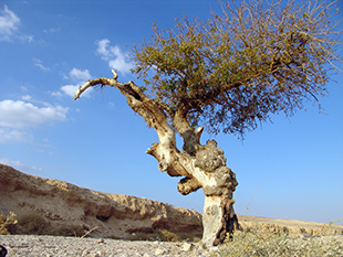 An Atlantic Pistachio (Pistacia atlantica) in Judean Desert – to a large gallery picture