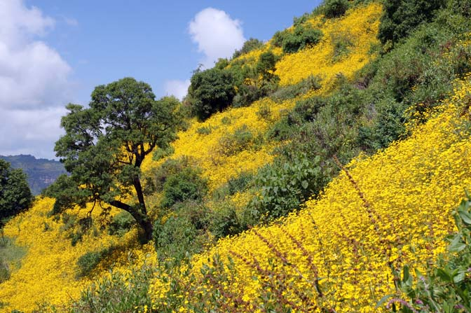 American Meskel Flowers (Yadey Abeba) decorate the slopes, Simien Mountains National Park 2012