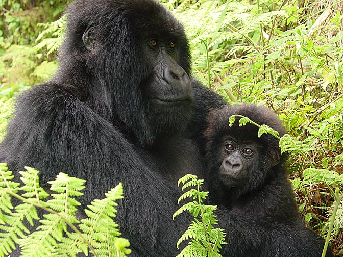 A female and a baby Mountain Gorilla, 2000