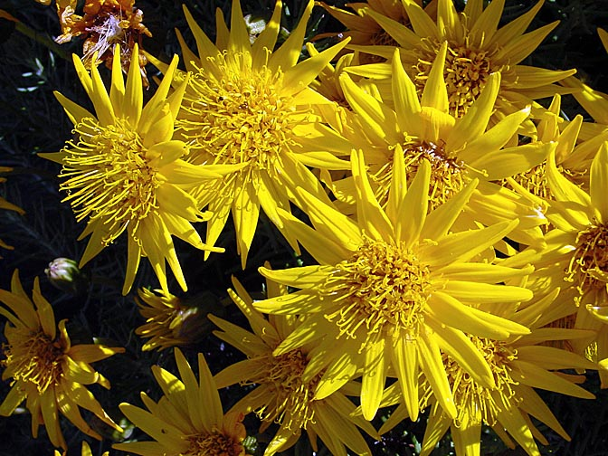 Senecio yellow blossoms in Table Mountain, Cape Town 2000