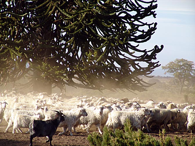 A herd of sheep and goats on a run in Lonco Luan, the Neuquen province 2004