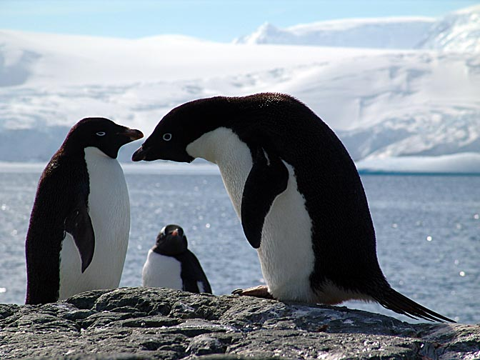 Adelie Penguins (Pygoscelis adeliae) in the Jalour Islands, 2004