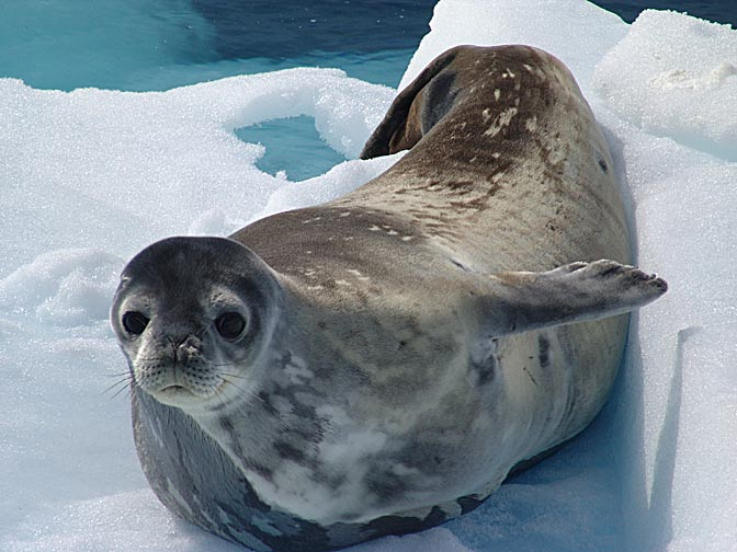 The sweet face of a Weddell Seal (Leptonychotes weddellii) in Graham Land, 2004