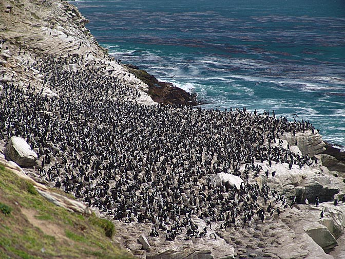 A King Cormorant (Phalacrocorax carunculatus, or King Shag) colony, Carcass Island 2004
