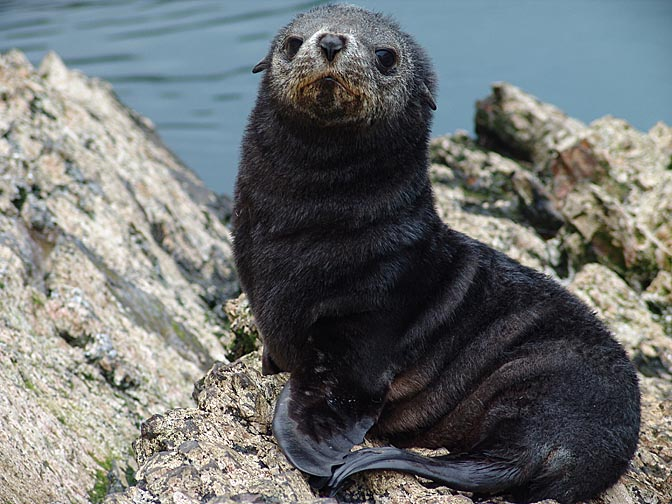 A dark Antarctic Fur Seal (Arctocephalus gazella) in Elsehul Bay, 2004