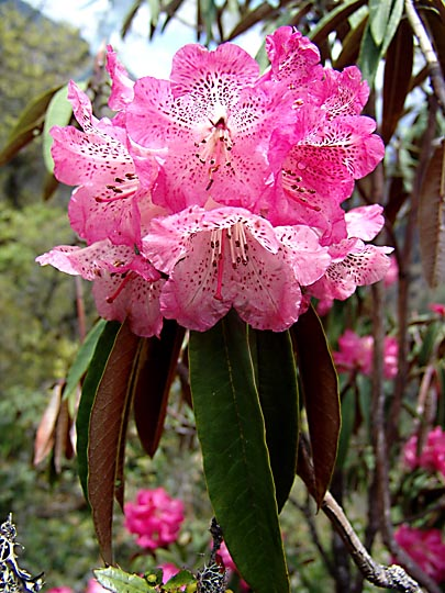 An impressive pink Rhododendron blossom, between Phole and Ghunsa, 2006