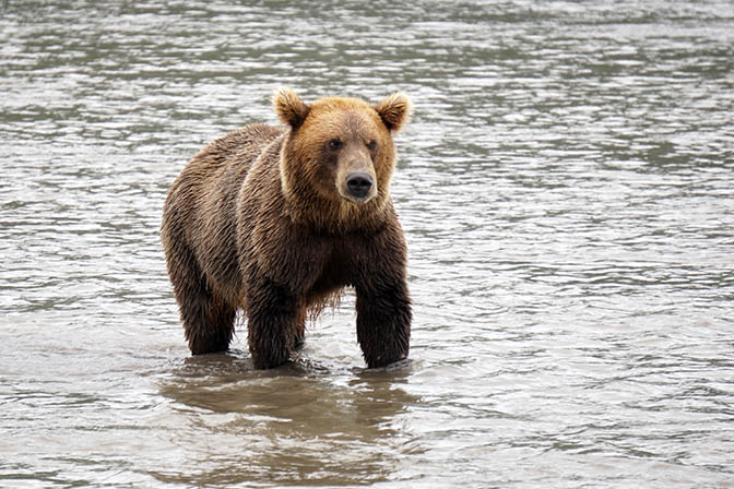 Kamchatka brown male bear fishes for salmon at the estuary of Khakytsin river into Kuril lake, 2016