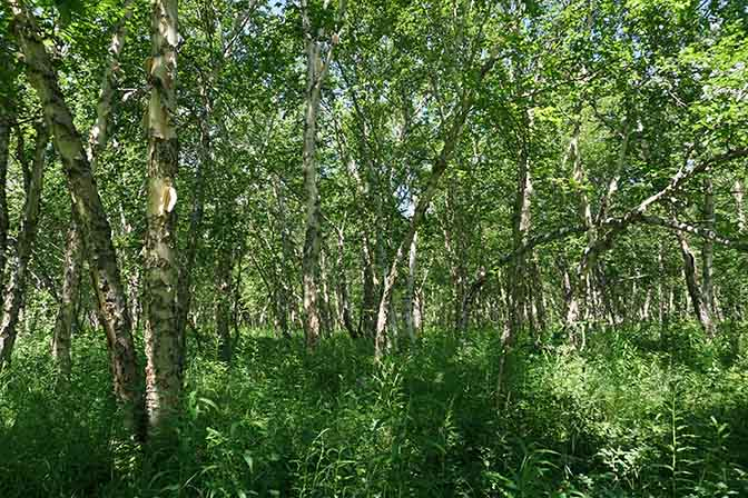 Kamchatka white birch (Betula ermanii) forest in lush greenery, Nalychevo Valley 2016
