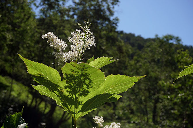 Kamchatka Meadowsweet Filipendula camtschatica flower, Nalychevo Valley 2016