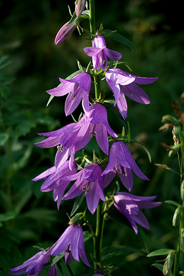 Creeping bellflower (Campanula rapunculoides) blooms near Avacha River, 2016