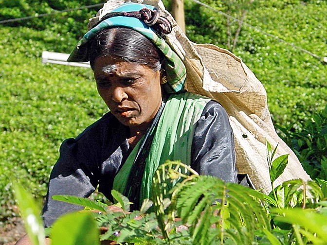 A Tamil woman picking tea leaves around Nuwara Eliya, 2002