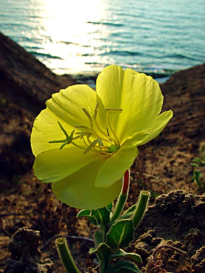 Yellow blossom of the Evening Primrose (Oenothera drummondii), Sharon Beach National Park, The Israel National Trail 2003