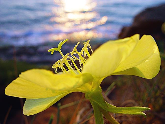 The Evening Primrose (Oenothera drummondii) blossom at sunset, Sharon Beach National Park, The Israel National Trail 2003