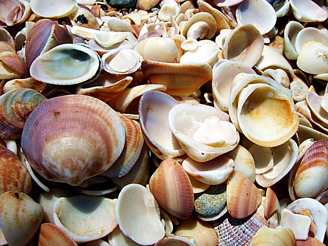 Seashells in 'Shell Bay' in Dor-Habonim nature reserve, 2001