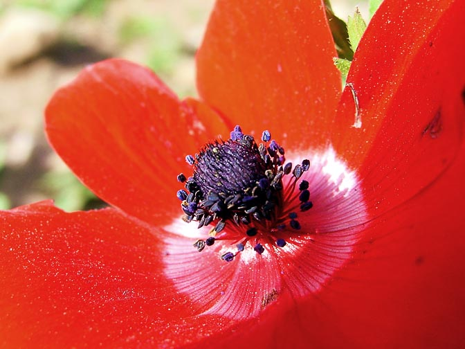 An Anemone coronaria blooms in red in the Carmel, 2002