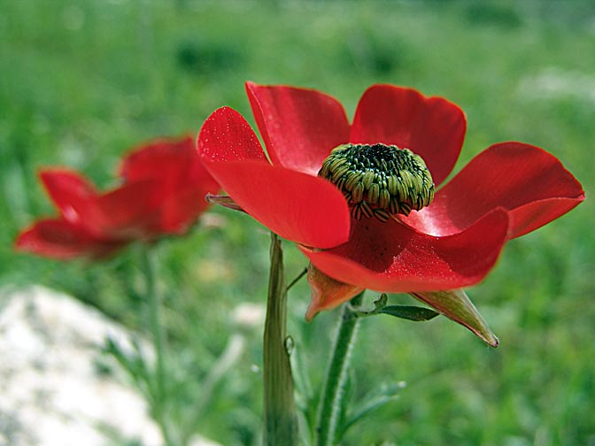 A Ranunculus asiaticus blooms in red in Nazareth, the Lower Galilee 2006