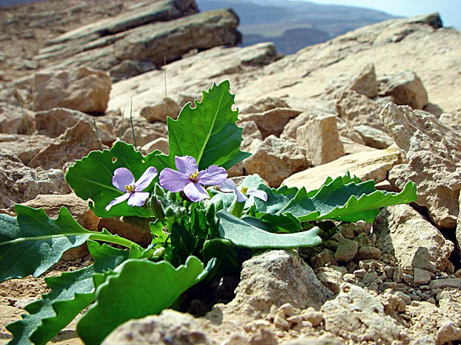 A Diplotaxis acris blossom in Mount Carbolet, the east ridge of the Large Makhtesh, the Negev 2003