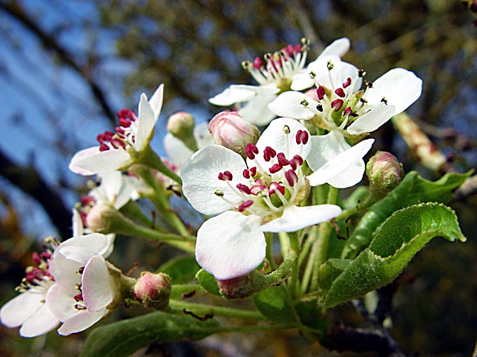 The Pyrus syriaca blossoms in Mount Meiron, the Upper Galilee 2003