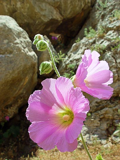An Alcea setosa blossom near Prat Spring in the Prat Creek (Wadi Kelt), the northern borderline of the Judean Desert, 2003