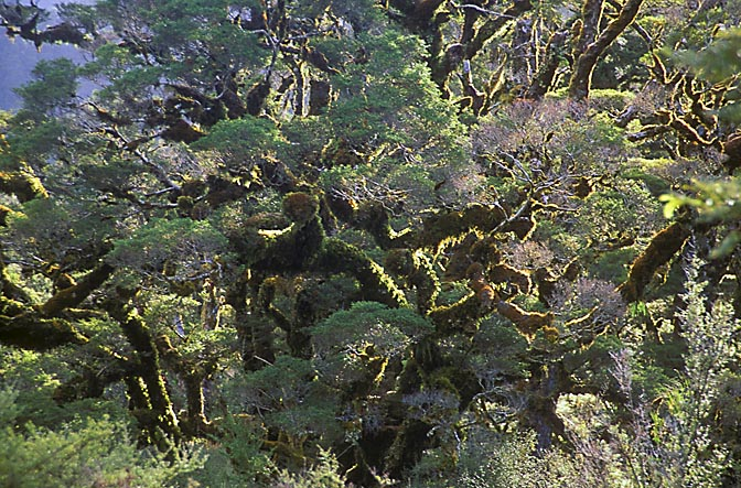 Trees with thick moss in the west coast, the South Island 1999