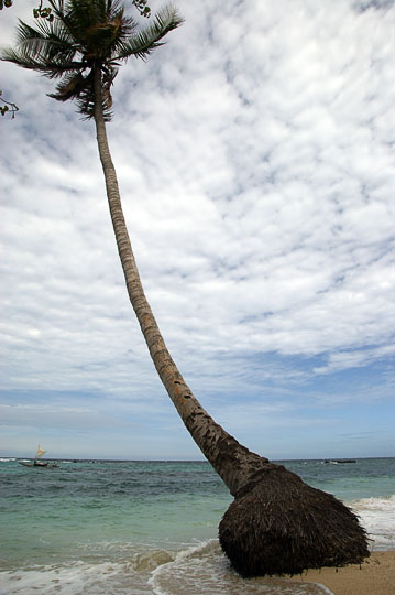 A coconut palm tree on a white sand beach, Kabuni Village 2009